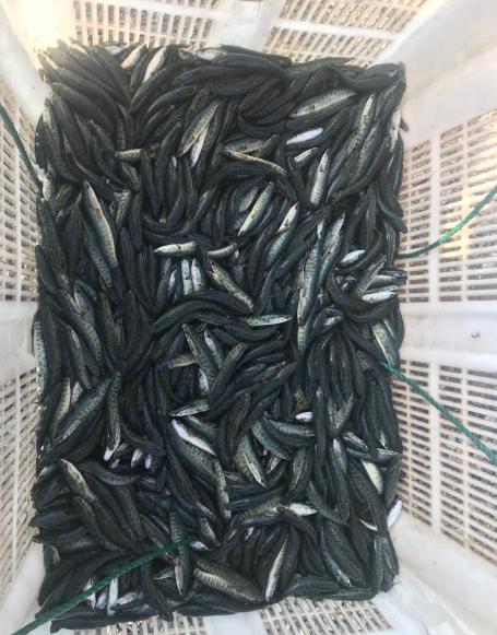 生鱼苗 淡水养殖种苗黑鱼 鲜活水产黑鱼苗斑点鱼生鱼苗厂家直销