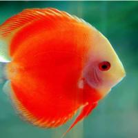 观赏鱼锦鲤鱼苗 淡水养殖批发 观赏鱼苗批发 红鲤鱼苗