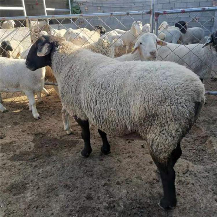 出售杜泊绵羊  批发价格低