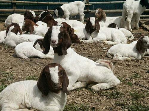 大量批发波尔山羊 常年出售波尔山羊羊羔