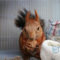 雪地松鼠幼崽出售 常年供应