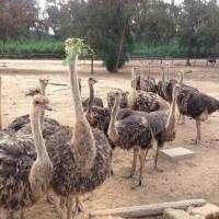 哪里有卖鸵鸟的 隆泰鸵鸟养殖场