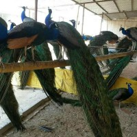 孔雀 蓝孔雀苗 常年供应