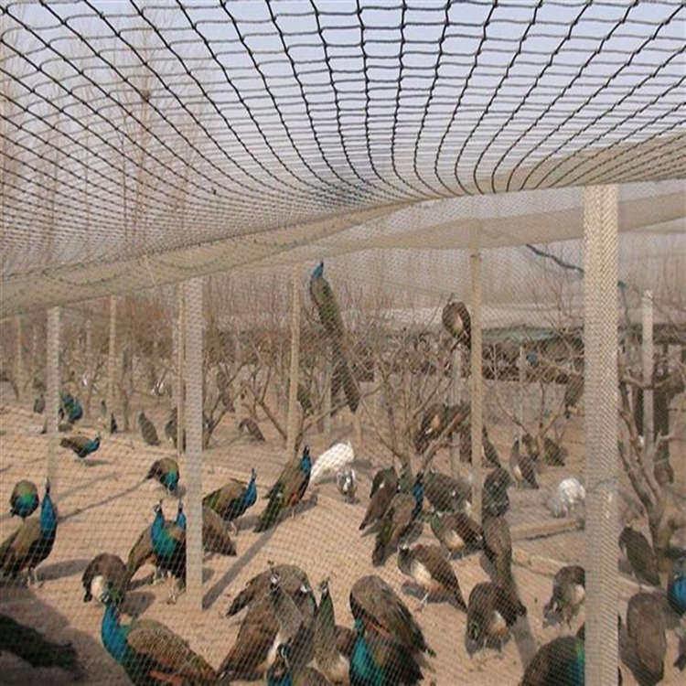 观赏蓝孔雀活体 现货出售孔雀 孔雀养殖场