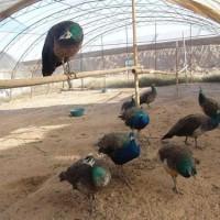 孔雀养殖场 珍禽孔雀出售