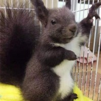雪地松鼠 魔王松鼠 金花松鼠出售