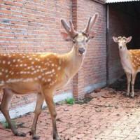 梅花鹿养殖 活体梅花鹿 常年供应