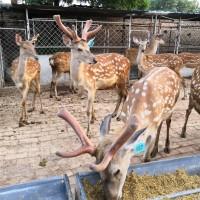山东梅花鹿养殖场 常年出售