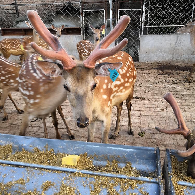 中兴梅花鹿养殖场