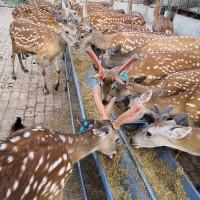 梅花鹿养殖场供应观赏梅花鹿